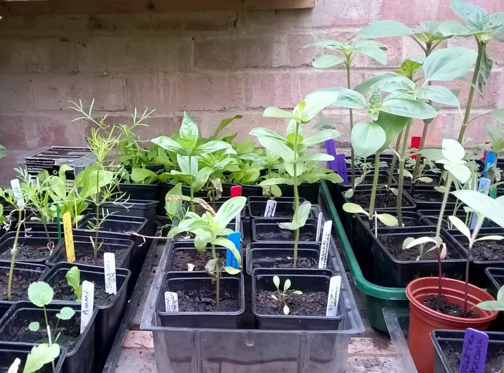 Seedlings in potting shed