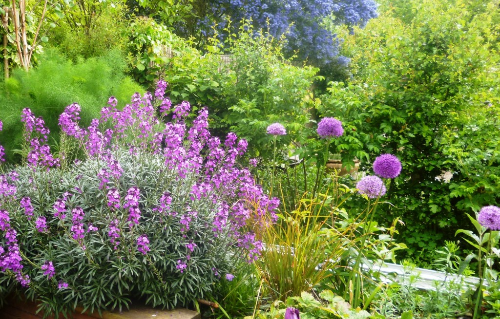 Erysimum and Alliums