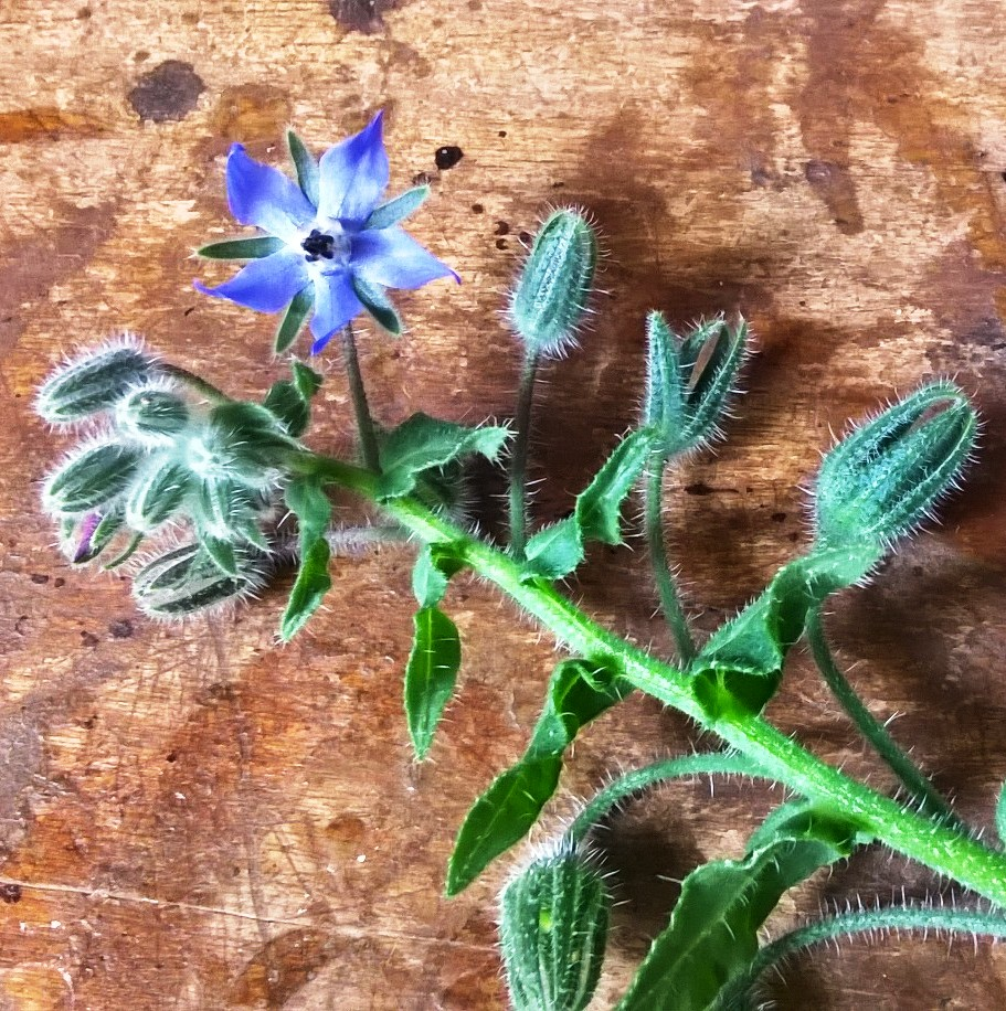 Borage from the cutting garden