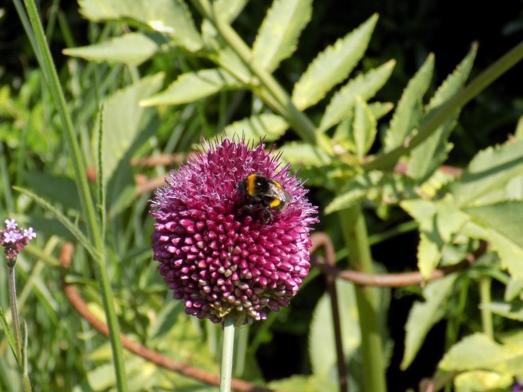 Bee feeding on Allium nectar