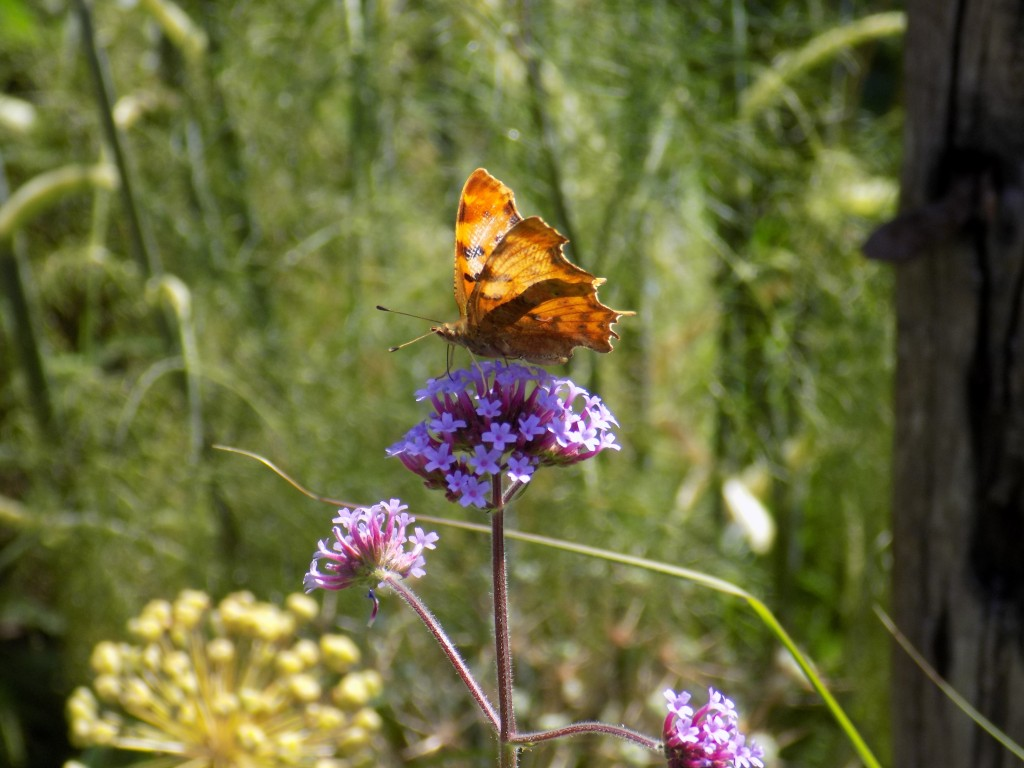 Butterfly feeding on Verbena