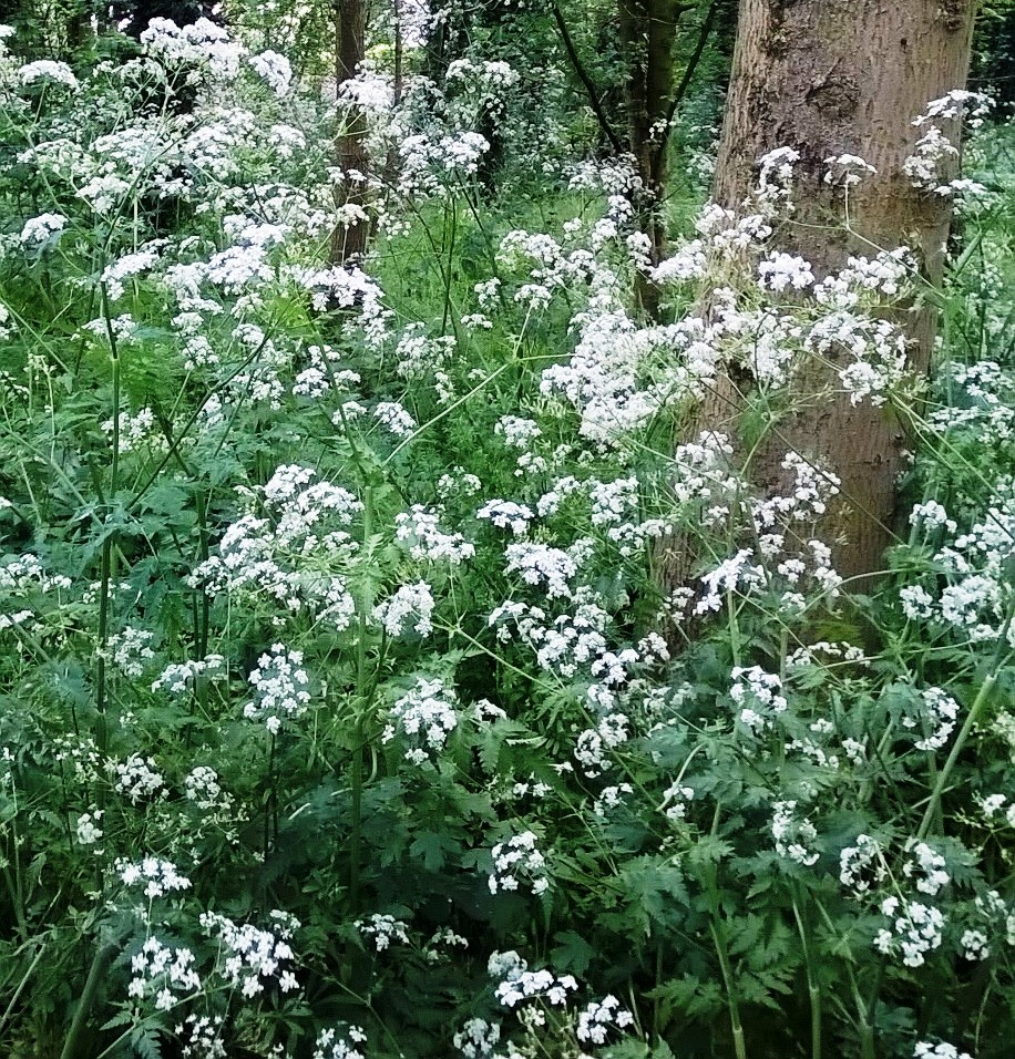 Cow parsley makes great filler material