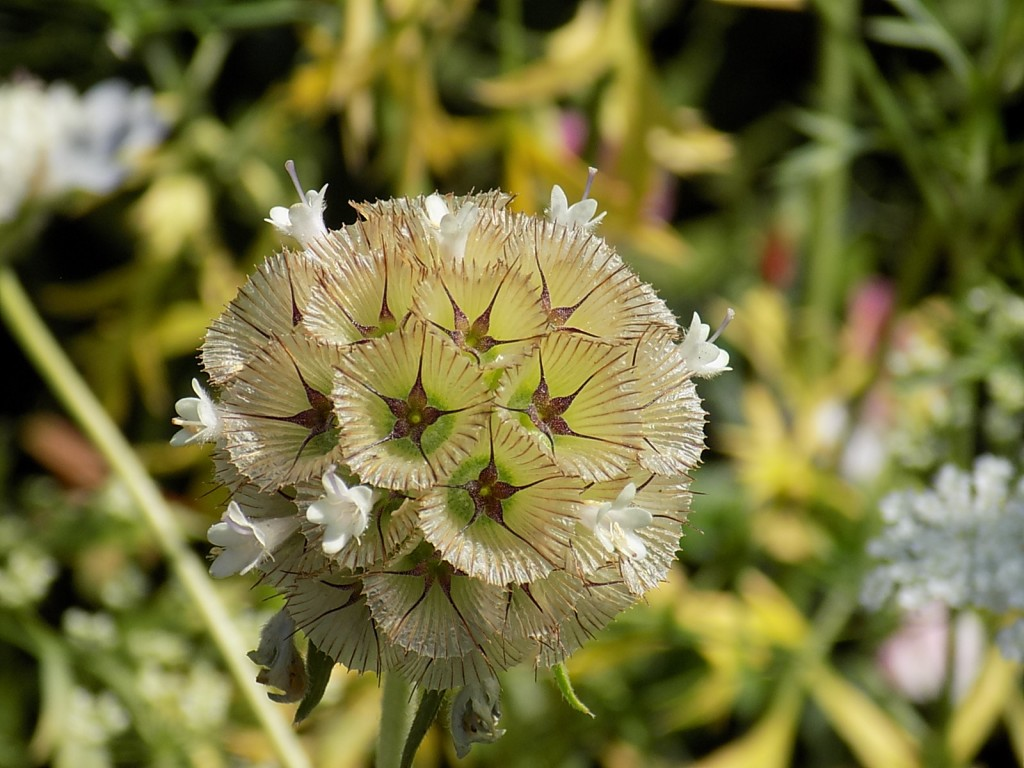 Scabiosa 'Ping Pong' seedhead