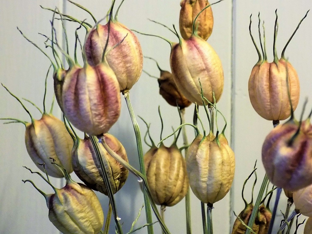 Nigella seed heads