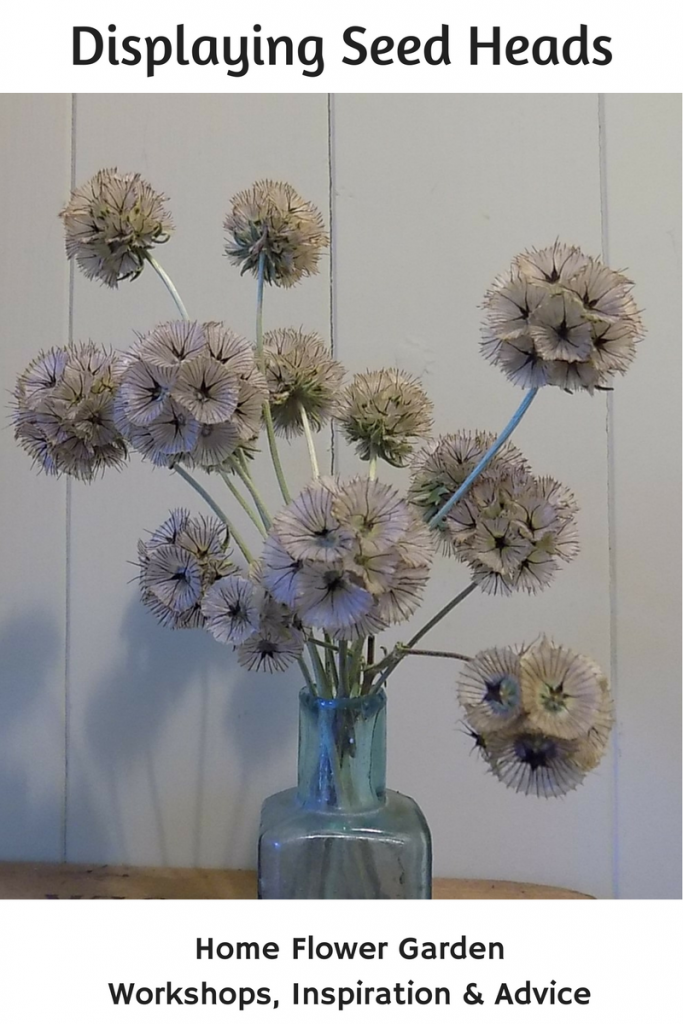 Scabiosa stellata 'Ping Pong'