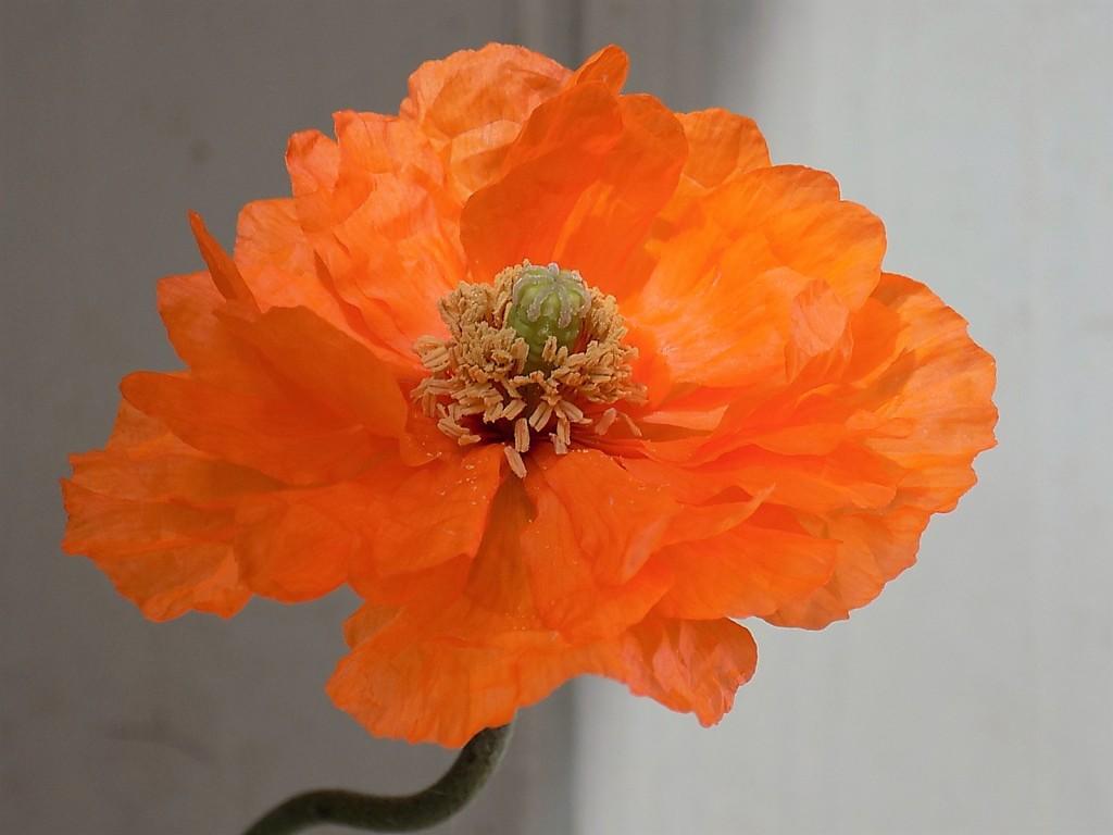 Perennial poppy