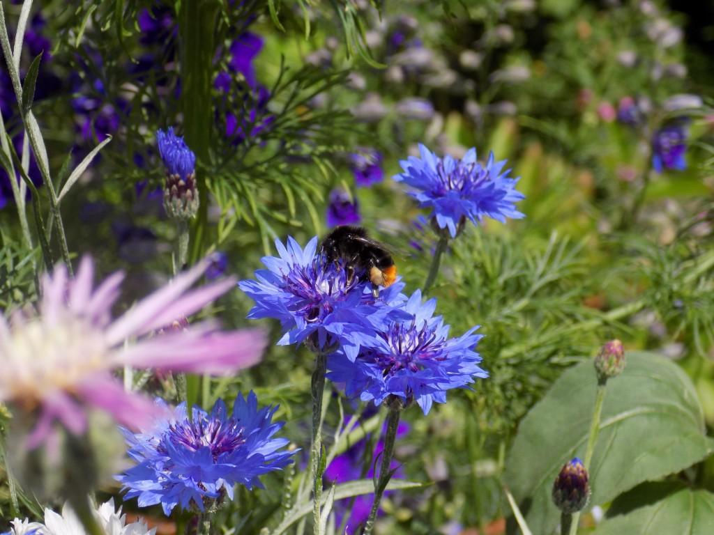 Bee Cornflower