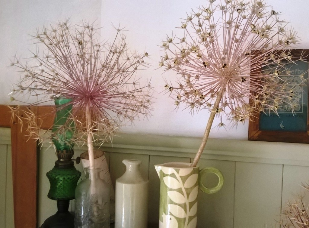 Allium seed heads