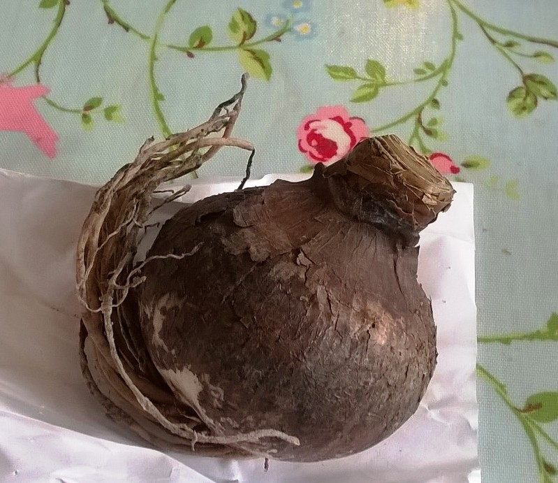 Large Amaryllis bulb ready for planting