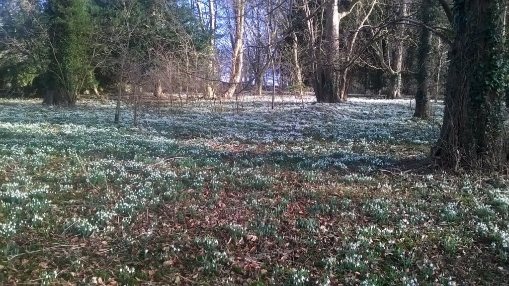 Snowdrops Walsingham