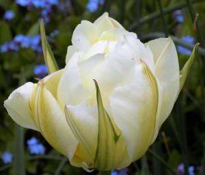 Tulip 'Exotic Emperor'