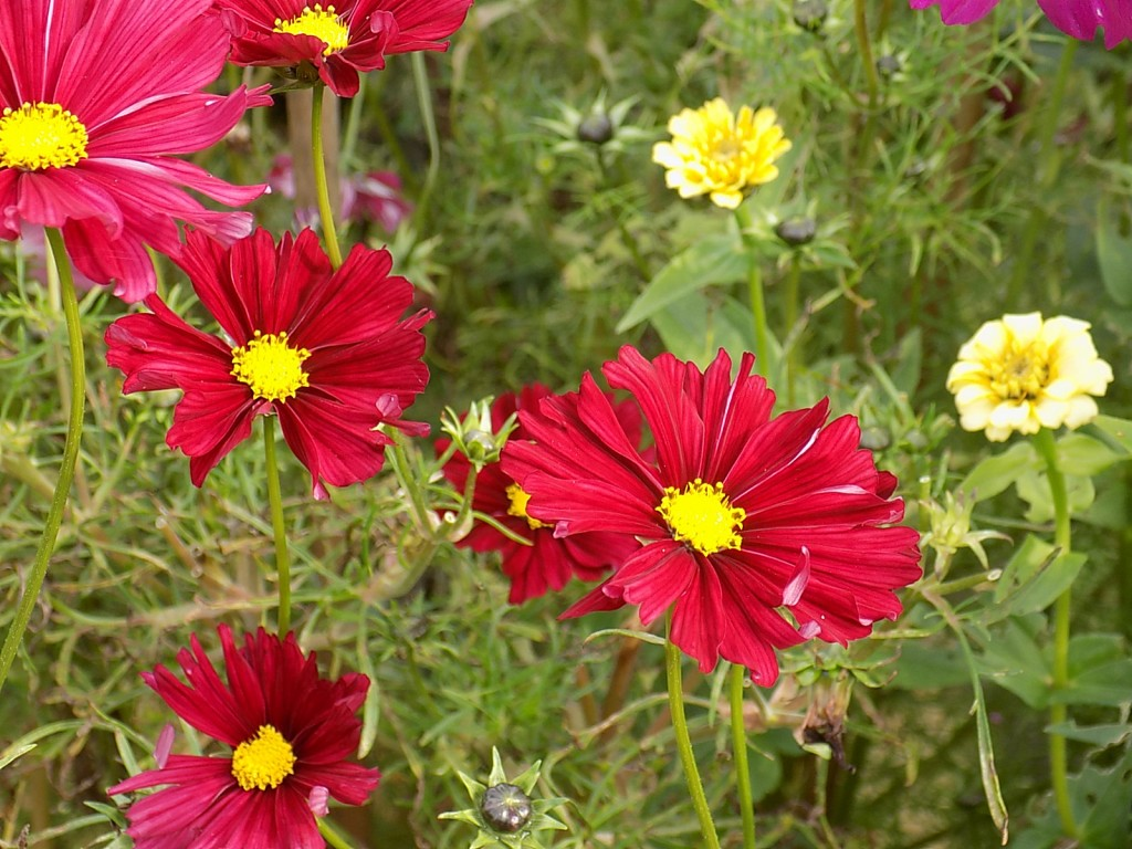Cosmos & Zinnias in the cutting garden